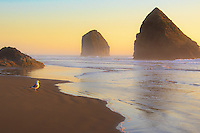A seagull is seen staring out towards the sunset with waves rolling onto sandy beach and rocks along the Oregon Coast