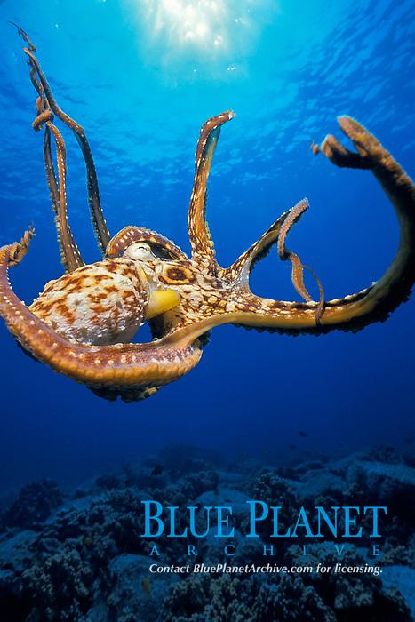 reef octopus or day octopus or he'e mauli, Octopus cyanea, Kona Coast of the Big Island, Hawaii Island, Hawaiian Islands, USAA (Pacific Ocean)
