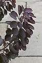 Cotinus coggygria Rubrifolius Group, mid October.