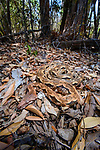Large adult Madagascar ground boa (Acrantophis madagascariensis) camouflaged and lying waiting in ambush on leaf litter on forest floor. Kirindy Forest, western Madagascar.