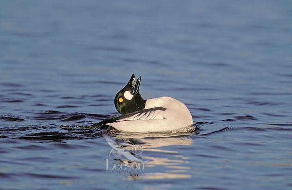 Common Goldeneye - male. Territory/mating call. Pacific Coast, British Columbia, Canada. (Bucephala clangula).