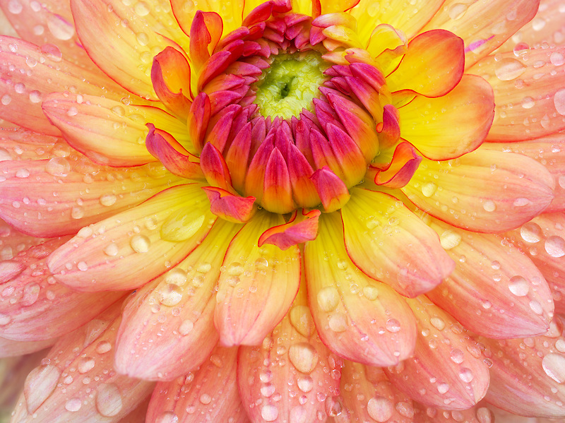 Dahlia (Gabrielle Marie)  close up. Oregon