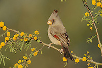 Pyrrhuloxia (Cardinalis sinuatus), adult female on blooming Huisache tree (Acacia farnesiana),Dinero, Lake Corpus Christi, South Texas, USA