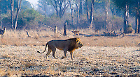 African Lion w Waterbuck and Puku, South Luangwa NP, Zambia