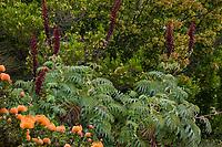 Melianthus major - Honey Bush flowering in UC Santa Cruz Arboretum and Botanic Garden