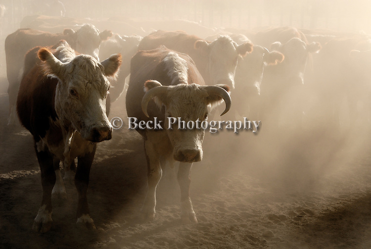 Cows  from Patagonia, Argentina in the fog.