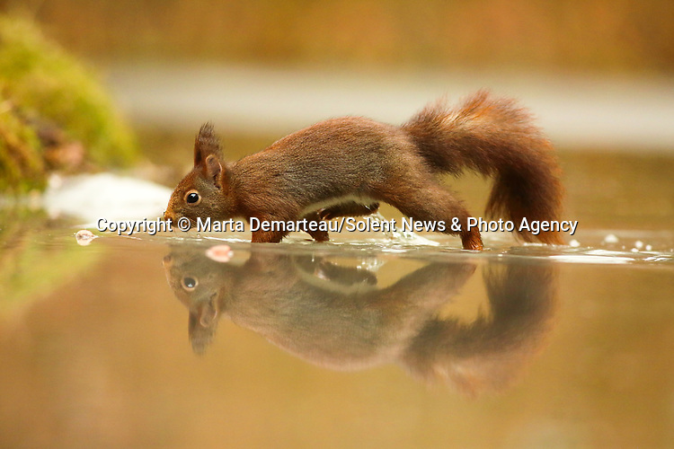 Red squirrels are beautifully reflected in the surface of a still pool as they collect fallen nuts.  The foraging animals splashed across the recently melted water which brilliantly reflected their wet, bushy tails.<br /> <br /> Hungry after the recent cold weather, the squirrels either greedily ate their spoils straight away or stashed them away for another rainy day.  SEE OUR COPY FOR DETAILS.<br /> <br /> Please byline: Marta Demarteau/Solent News<br /> <br /> © Marta Demarteau/Solent News & Photo Agency<br /> UK +44 (0) 2380 458800