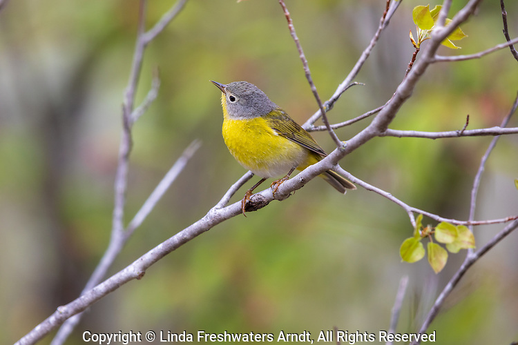 Male Nashville warbler perched in a spring forest.