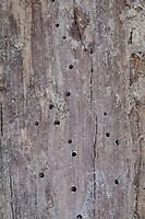 Käfer-Fraßgänge in altem, morschem Holz, Löcher durch Käferfraß