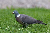 Ringeltaube, Ringel-Taube, Taube, Tauben, Columba palumbus, Wood Pigeon, Pigeon ramier