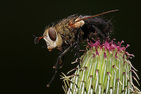Large Flesh Fly on spring milk thistle bud. Nature Conservancy Contest - Honorable Mention 2012.