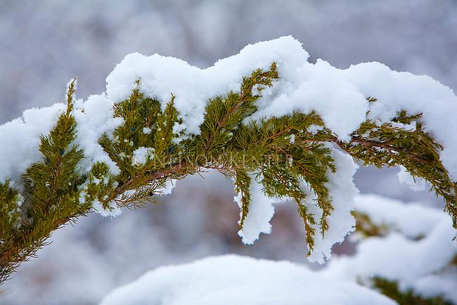 A fresh snow fall clings to a juniper branch