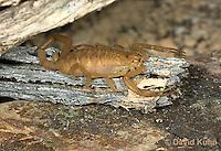 1122-0804  Bark Scorpion, Centruroides exilicauda © David Kuhn/Dwight Kuhn Photography