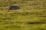 Bobcat (Lynx rufus) chewing on Botta's Pocket Gopher (Thomomys bottae) prey, Point Reyes National Seashore, California