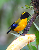 Black-chinned mountain-tanager male