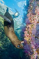 California Sea Lion, Zalophus californianus, Los Islotes, Baja, Mexico, Sea of Cortez, Pacific Ocean