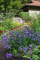 September garden with Aster dumosus 'Sapphire', morning glory flower vine on fence, house, picket gate, annual begonia flowers, tomato vegetable plants, coleus