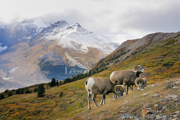 Bighorn Sheep Rams (Ovis canadensis) graze in subalpine meadow.  Northern Rockies.  Fall.