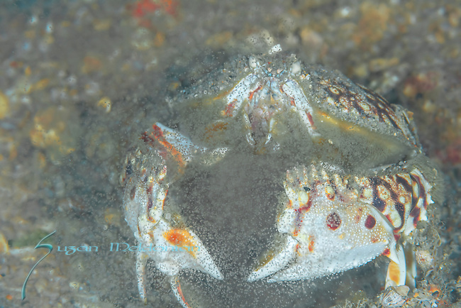Flame Box Crab Spawning, Calappa flammea, releasing brood