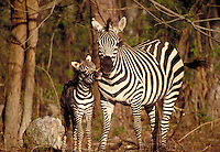 Grants Zebra, adult female mother with 4 day old. Wildlife. young, foal.