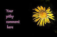"""Toned yellow flower, Gum Plant, on right, including insect, with text, """"Your pithy comment here"""" on left half of image over dark shadow tones."""