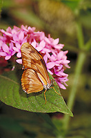 "DRYAS IULIA, """"Julia Butterfly"""", on pink Pentas lancelata, Subfamily - Heliconiinae; Family - Nymphalidae; Order - Lepidoptera; C - Insecta.  Range - Neotropical to southern USA. Host plants - Passiflora (several species). NEW ORLEANS LA USA AUDUBON ZOO."