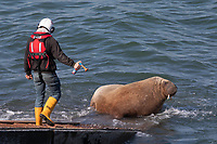 Pictured: An RNLI volunteer uses an airhorn to get Wally the walrus move off the RNLI slipway in Tenby, Wales, UK.<br /> Re: An RNLI lifeboat volunteer had to use an air-horn to budge Wally the walrus off the station's slipway in Tenby, Wales, UK.<br /> The mammal was basking in the sun on Monday afternoon when Tenby RNLI lifeboat were called to respond to a potential emergency involving a canoe.<br /> Despite one crew member's best efforts with a brush, the sturdy sea creature was not moving.<br /> Wally has become a tourist attraction, having strayed unusually south to the Pembrokeshire coast last month.