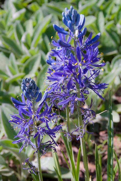 Camassia quamash in blue spring flowers, wetlands plant bulb, small camas, north American wildflower