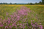 Ragged Robin growing  in a wet meadow near Pondicherry NWR in Jefferson, NH, USA