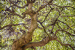 Beech (Fagus sp.), Hyde Park, London, England<br /> <br /> Canon EOS 5DS R, EF24-70mm f/4L IS USM lens, f/4 for 1/25 second, ISO 400