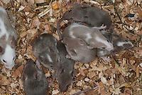 Farbmaus, Junge, Jungtiere im Nest, als Farbmäuse werden die Zuchtformen der Hausmaus bezeichnet, Labormaus, Labormäuse, Mus musculus, Mus musculus f. domestica, Jungtier, Tierkind, Tierbaby, Tierbabies, Tierbabys, Fancy mouse Fancy-mouse domesticated form of the house mouse, house-mouse