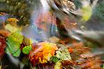 Autumn leaves in creek, Washington, USA