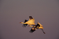 Whooping Cranes flying in evening back to roosting area. Texas.  Winter.
