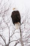 Bald Eagle (Haliaeetus leucocephalus) in snowstorm, Lower Klamath National Wildlife Refuge, California