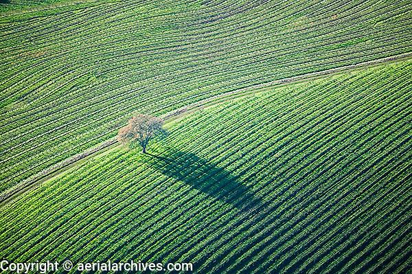 aerial photograph oak tree vineyards Mayacamas Mountains Sonoma Valley Sonoma County, California