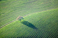 aerial photograph oak tree vineyards Mayacamas Mountains Sonoma Valley Sonoma County, California