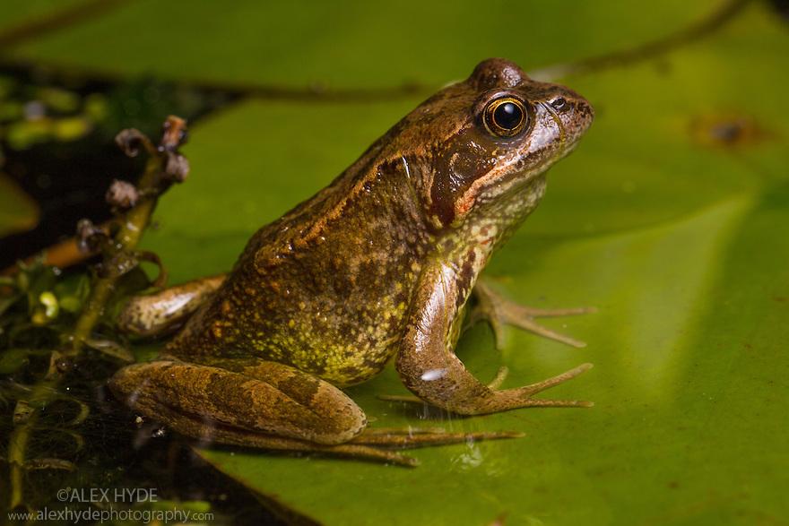 Common Frog {Rana temporaria} in garden pond at night. Derbyshire, UK. September.