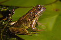 Common Frog {Rana temporaria} in garden pond at night. Derbyshire, UK. September.