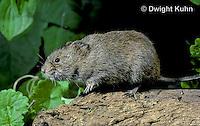 MU30-010z  Meadow Vole - Microtus pennsylvanicus