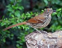 Long-billed thrasher