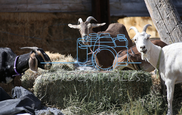 Images from Holley Family Farms in Dayton Valley, Nev. on Friday, Sept. 30, 2016. <br />Photo by Cathleen Allison