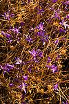 Purple Wildflowers in a Field