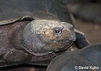 0218-1104  Asian Forest Tortoise (Burmese Black Tortoise), Found Northeast Taiwan to India, Manouria emys phayrei  © David Kuhn/Dwight Kuhn Photography