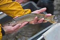 Europe/France/Centre/41/Loir-et-Cher/Sologne/env de Romorantin-Lanthenay: Pêche d'un étang - Brochet<br /> Auto N°:2012-4110 , Auto N°:2012-4111 , Auto N°:2012-4112 , Auto N°:2012-4113<br /> // Europe/France/Centre/41/Loir-et-Cher/Sologne/Near Romorantin-Lanthenay: Fishing pond - Pike<br /> Auto N°:2012-4110 , Auto N°:2012-4111 , Auto N°:2012-4112 , Auto N°:2012-4113