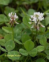 FW06-502z White Clover, Trifolium repens.