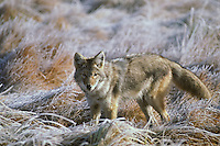 Coyote (Canis latrans) on frosty, fall morning.