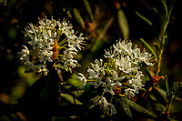 Bog Labrador Tea, Rhododendron groenlandicum, growing in the Adirondack Mountains in New York State