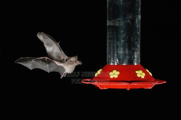 Mexican Long-tongued Bat, Choeronycteris mexicana, adult in flight at night feeding on Hummingbird feeder,Tucson, Arizona, USA, September 2006