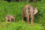 Borneo Pygmy Elephant (Elephas maximus borneensis) mother and calf, Kinabatangan River, Sabah, Borneo, Malaysia