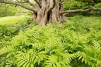Dawn Redwood and ferns, Arnold Arboretum, Jamaica Plain, Boston, MA
